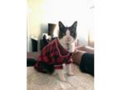 Adopt Finnegan a Black & White or Tuxedo American Shorthair cat in Santa Clara