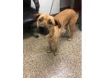 Adopt Buster a Tan/Yellow/Fawn Shepherd (Unknown Type) / Mixed dog in New