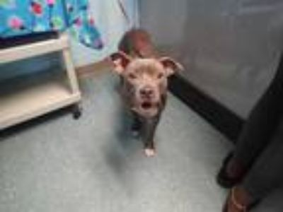 Adopt CARDI a Brindle - with White American Pit Bull Terrier / Mixed dog in St.