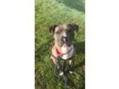 Adopt Zoe a Catahoula Leopard Dog, Pit Bull Terrier