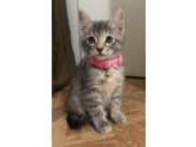 Adopt Macaroni a Gray, Blue or Silver Tabby Domestic Mediumhair / Mixed cat in