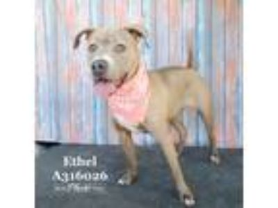 Adopt ETHEL a Brown/Chocolate American Pit Bull Terrier / Mixed dog in Conroe