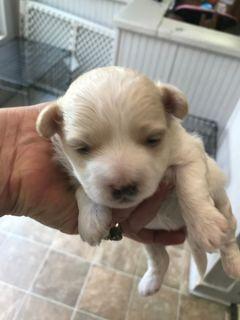Maltipoo PUPPY FOR SALE ADN-92279 - CKC Reg Maltipoo Puppy