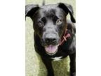 Adopt Johnny Cash a Pit Bull Terrier