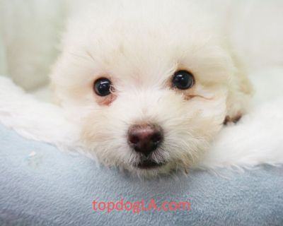 Pomapoo Puppy – Male- Caine ($699)
