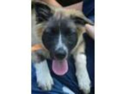Adopt Ms. Furbulous a German Shepherd Dog, Great Pyrenees