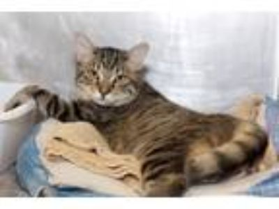 Adopt Trina a Brown Tabby Domestic Shorthair (short coat) cat in Fort