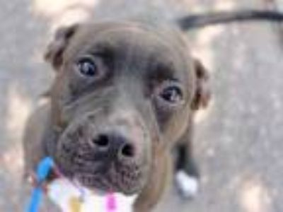 Adopt KIKI a Black - with White American Pit Bull Terrier / Mixed dog in Denver