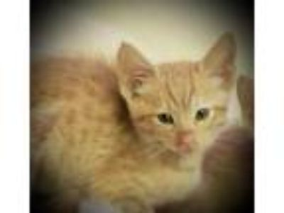 Adopt Alani a Orange or Red Domestic Shorthair / Domestic Shorthair / Mixed cat