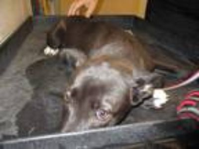 Adopt 42081423 a Black Labrador Retriever / Mixed dog in Arlington
