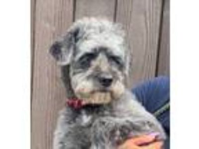 Adopt Scruffy a Gray/Blue/Silver/Salt & Pepper Schnauzer (Miniature) / Mixed dog