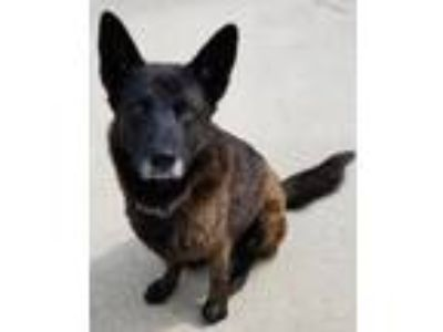 "Adopt Maon ""Moon"" a Dutch Shepherd"