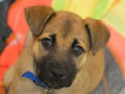 Adopt STAN a Brown/Chocolate - with Black Labrador Retriever / Australian Cattle