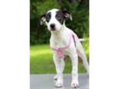 Adopt Nancy a White - with Black Pointer / Mixed dog in Waldorf, MD (25629653)