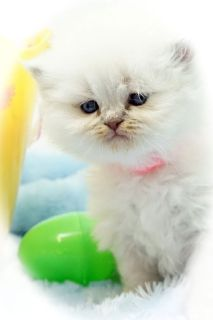 CFA Persian & Himalayan Kittens