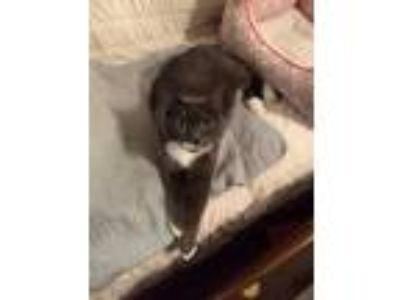 Adopt Sophie a Gray or Blue (Mostly) Domestic Shorthair / Mixed (short coat) cat