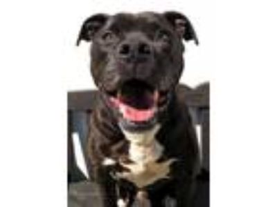 Adopt 19-230 a Pit Bull Terrier