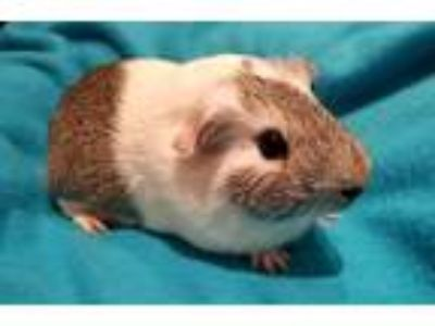 Adopt Blitzen a Silver or Gray Guinea Pig (short coat) small animal in South