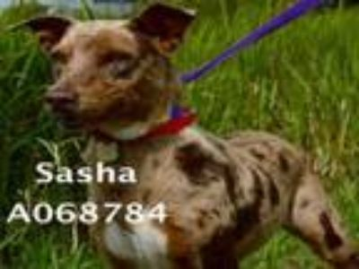 Adopt SASHA a Catahoula Leopard Dog, Mixed Breed