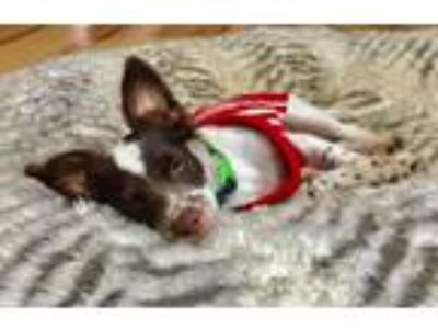Adopt Jasper! a White - with Brown or Chocolate Terrier (Unknown Type