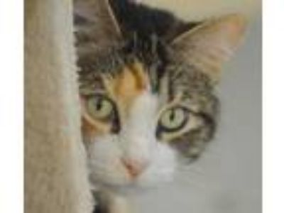 Adopt June Bug a Calico, Domestic Short Hair