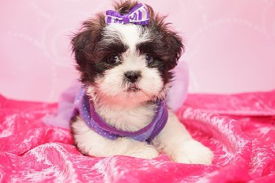 Cute toy female Shih-Tzu puppies available now in Las Vegas, Nevada!