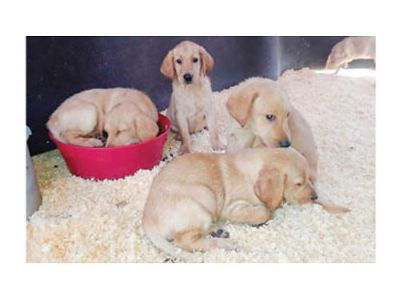 AKC CHOCOLATE LABRADORS, HUNTING AND FAMILY WITH ...
