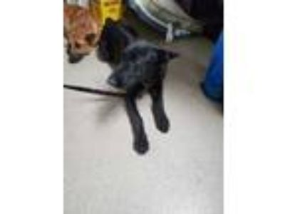 Adopt 41988698 a Black Shepherd (Unknown Type) / Mixed dog in Fort Worth