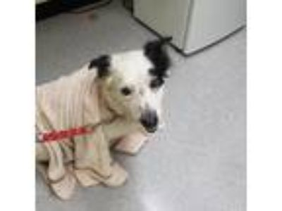 Adopt Tanisha 19-06-188 a Black Cattle Dog / Collie dog in Bastrop