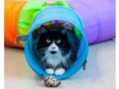 Adopt FIGARO a Domestic Long Hair