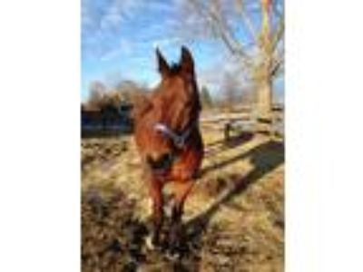 Handsome Bay Quarter Horse Gelding