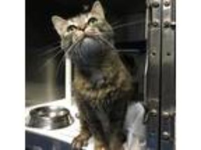 Adopt Lilly a Gray or Blue Domestic Shorthair cat in Roanoke, VA (25654616)