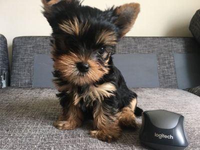 Adorable Yorkshire Terrier Puppies For Sale!