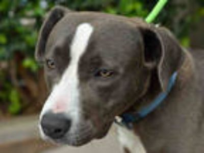Adopt JUGG a Gray/Silver/Salt & Pepper - with White American Pit Bull Terrier /