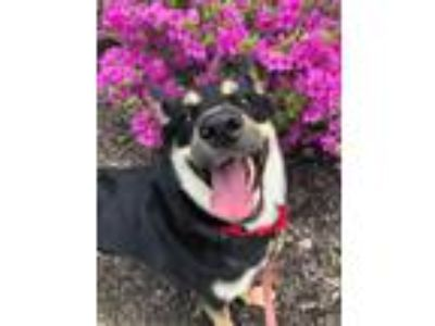 Adopt Lilly a Shepherd, Mixed Breed