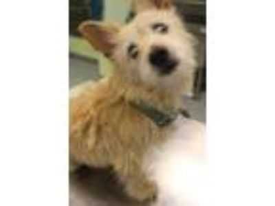 Adopt Feyo a Tan/Yellow/Fawn Westie, West Highland White Terrier / Mixed dog in