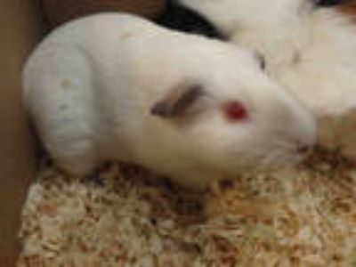 Adopt ROSIE a Black Guinea Pig / Mixed small animal in Chatsworth, CA (25304052)