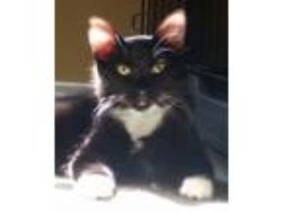 Adopt Giorgio a Tuxedo, Domestic Medium Hair