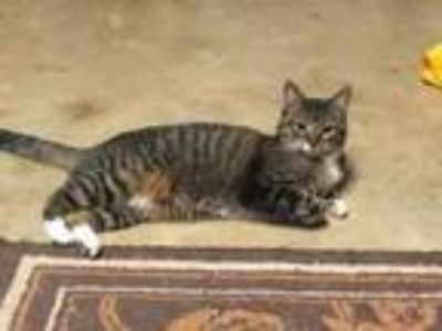 Adopt Athena a Domestic Short Hair, Tabby