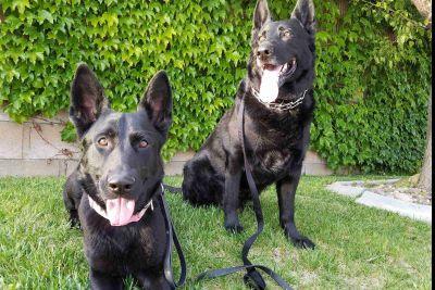 Champion Working Lines Soild Black Czech/DDR German Shepherd