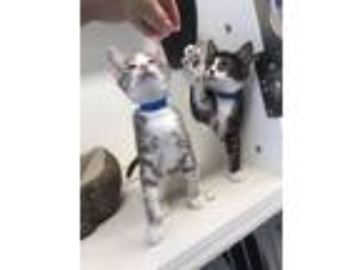 Adopt Kittens 2 months old 1Female 1Male a Domestic Short Hair