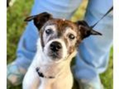 Adopt Speedy a White - with Brown or Chocolate Jack Russell Terrier / Mixed dog