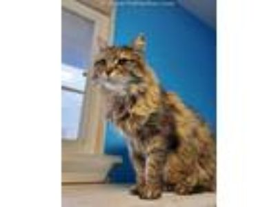 Adopt BELLA a Domestic Medium Hair
