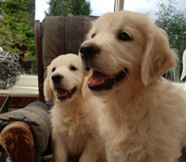 Golden Retriever Puppies For A Good Home