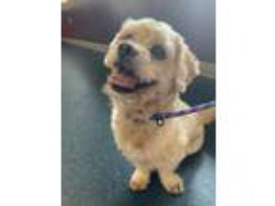 Adopt Doodle a Tan/Yellow/Fawn Cocker Spaniel / Poodle (Miniature) / Mixed dog