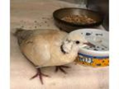 Adopt Fran a Brown Dove bird in San Francisco, CA (25299888)