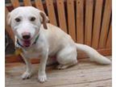 Adopt Lucky (male) a Dachshund, Labrador Retriever