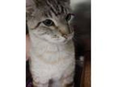 Adopt Donavan a Cream or Ivory Domestic Shorthair / Domestic Shorthair / Mixed