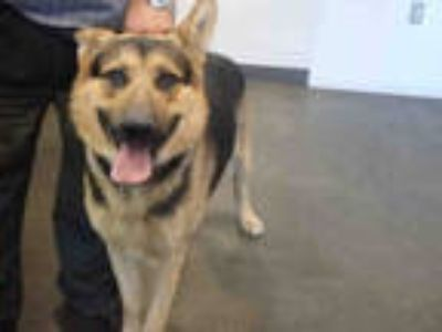 Adopt REX a Black - with Tan, Yellow or Fawn German Shepherd Dog / Mixed dog in