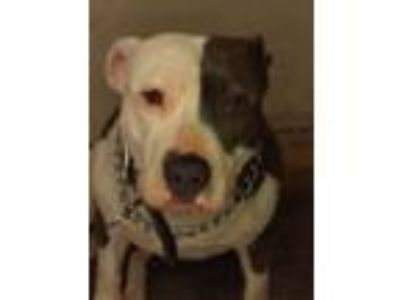 Adopt Xena a Brown/Chocolate - with White American Pit Bull Terrier dog in Red